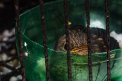 Baby bird in cage. Closeup shot of baby bird in cage royalty free stock photo