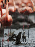 Baby bird of the Caribbean flamingo. Royalty Free Stock Photography
