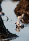 Baby bird of the Caribbean flamingo. Stock Photo