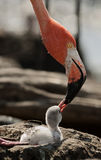 Baby bird of the Caribbean flamingo. Royalty Free Stock Image