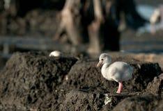 Baby bird of the Caribbean flamingo in a nest. Stock Photo