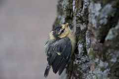 Baby bird. The chick sitting in a tree near the nest Stock Image