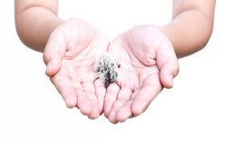 Baby bird in a child is hand. In white background Royalty Free Stock Photo