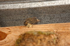 Baby Bird. A close up view of a baby bird sitting on top on a board by its nest Stock Photos