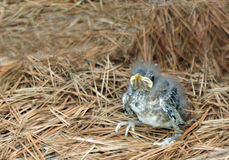 Baby bird. Closeup of baby bird out of the nest sitting alone on the pine needles Stock Photography