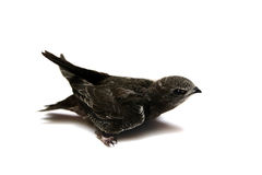 The baby bird of Common Swift Stock Photo