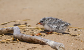 Pretty baby bird Stock Images