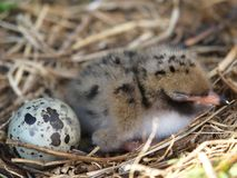 Baby bird and egg. Newborn baby bird end egg in nest; Common Tern Stock Images