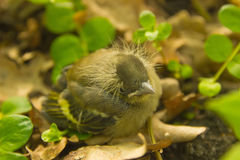 Baby bird fall from the nest stock image