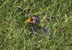Baby Bird Frightened Stock Photo