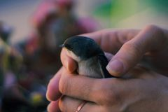Baby bird held by a woman royalty free stock image