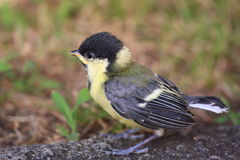 Baby bird - Great Tit aka Parus Major Royalty Free Stock Photography