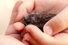 Baby bird in hand Royalty Free Stock Photo