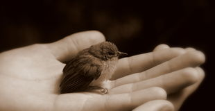 Baby bird in hand (black and white) Royalty Free Stock Images