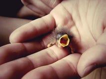 Baby bird in hand Stock Photos