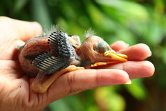 Baby bird in hand Royalty Free Stock Photography