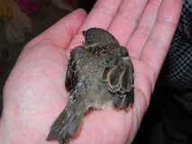 Baby bird in the hands of rights. A small bird fell from the nest and the man found it.  Details and close-up. stock image