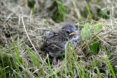 A baby bird. That has fallen out of its nest Stock Image
