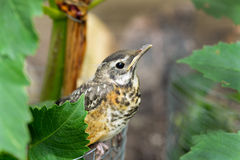 Baby bird hiding in garden. Royalty Free Stock Image
