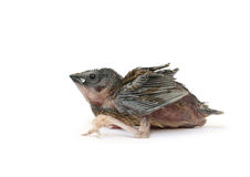 Baby bird Stock Photo
