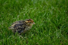 Baby bird of the Japanese quail in the green grass stock photos