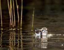 The baby bird of a Little Gull (Larus minutus) floats on water Royalty Free Stock Photos