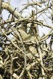 A baby bird of long-eared owl (Asio otus) Stock Photos