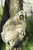 A baby bird of long-eared owl (Asio otus) Stock Photography