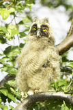 A baby bird of long-eared owl (Asio otus) Royalty Free Stock Image