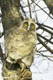 A baby bird of long-eared owl (Asio otus) in the tree Royalty Free Stock Photo