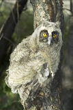 A baby bird of long-eared owl (Asio otus) in the tree Royalty Free Stock Images