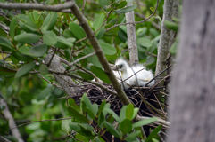 Baby bird looks at the world. A photo of a baby bird sitting on the side of it`s nest looking out Royalty Free Stock Images