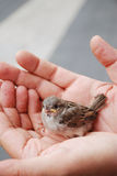 Baby bird in male palms. Fledgeling is sitting in comfortable male hands Royalty Free Stock Images