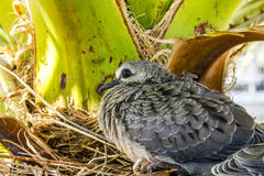 Baby bird; a Mourning Dove Nesting in a Palm Tree. A baby Mourning Dove with action blur of bristling & puffing feathers nested in a palm tree in Tucson, Arizona Stock Images