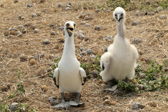 Baby bird Nazca Booby and Booby-mama Royalty Free Stock Photography