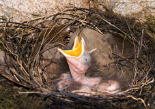 Baby bird in nest crying Stock Images