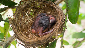 Baby bird in nest Stock Photos