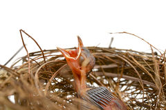 Baby bird in a nest Stock Image
