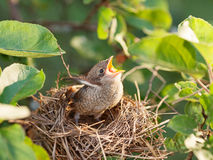 Baby bird in the nest Royalty Free Stock Photography