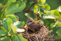 Baby bird in the nest Stock Photography