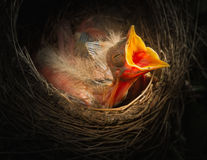 Baby bird in the nest with mouth open. This is a photograph of a baby robin in the nest with mouth open Royalty Free Stock Image
