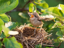 Baby bird in the nest Royalty Free Stock Photo