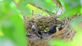 Baby bird in the nest stock footage