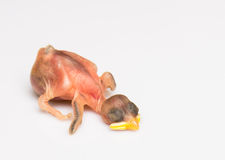 Baby bird Stock Photos
