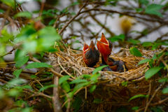 Free Baby Bird On A Tree In A Nest Stock Photo - 89903040