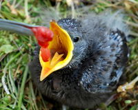 Baby Bird with open beak being fed. Baby bird with wide open, yellow beak sitting in nest being fed red worm from tweezers royalty free stock photography