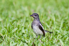Baby bird - Oriental Magpie-Robin. Standing on green grass royalty free stock photo