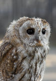 Baby bird of owl. With big black eyes looking forward Royalty Free Stock Images