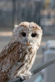 Baby bird of owl. With big black eyes is looking in an objective Royalty Free Stock Images