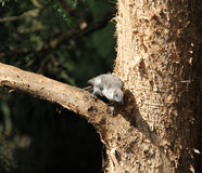 Baby Bird in a Paper Bark Tree Royalty Free Stock Photography